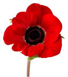 Memorial Day poppy.jpg